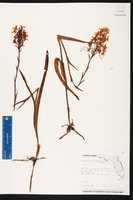 Platanthera chapmanii image