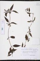 Struthanthus densiflorus image