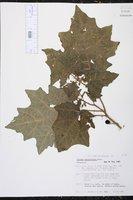 Solanum myriacanthum image
