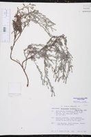 Euploca procumbens image