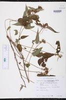Image of Croton glandulosepalus
