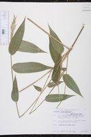 Olyra latifolia image