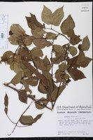 Bauhinia divaricata image