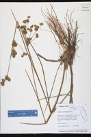 Juncus scirpoides image