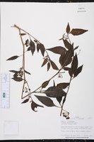 Solanum macrotonum image