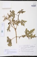 Image of Cnidoscolus herbaceus