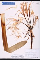 Hymenocallis arenicola image