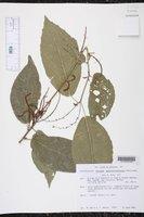 Image of Acalypha schlechtendaliana