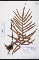 Polypodium lepidotrichum image