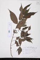 Boehmeria ulmifolia image