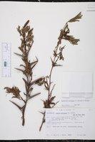 Vachellia cornigera image