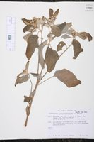 Croton argenteus image