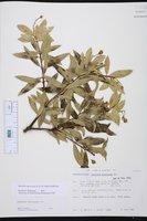 Bonellia macrocarpa image