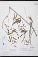 Lippia stoechadifolia image