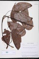 Image of Bauhinia guianensis
