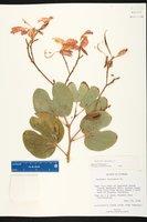 Bauhinia purpurea image