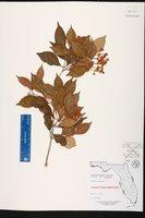 Calyptranthes pallens image