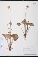 Parnassia asarifolia image