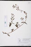 Image of Emmeorhiza umbellata