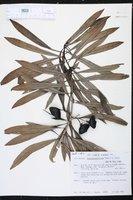 Thevetia peruviana image