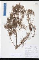 Callitris glaucophylla image