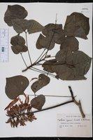 Image of Erythrina eggersii