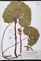 Orobanche flava image