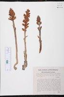Orobanche lucorum image