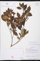 Stemmadenia robinsonii image