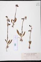 Ophrys bertolonii image