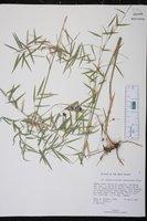 Arthrostylidium sarmentosum image