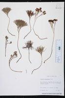 Schizaea poeppigiana image