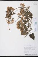 Image of Mikania odoratissima