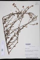 Krameria ixine image