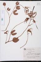 Bauhinia pulchella image