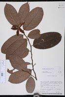 Image of Sloanea berteroana