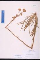 Eurybia eryngiifolia image