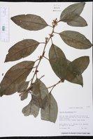 Cestrum macrophyllum image