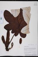 Cecropia peltata image