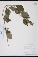 Cyathula prostrata image