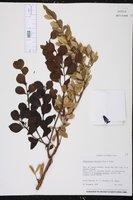 Image of Dendropemon bicolor