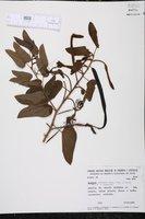Image of Bauhinia pentandra
