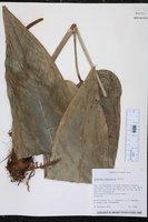 Anthurium dominicense image