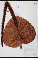 Image of Coccoloba rugosa