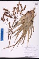 Catopsis floribunda image