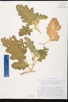 Solanum citrinum image