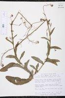 Image of Romanschulzia arabiformis