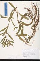 Hygrophila costata image