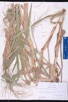 Panicum dichotomiflorum var. dichotomiflorum image