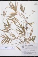 Chusquea oligophylla image